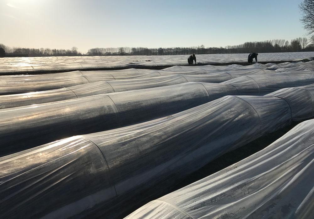 Eerste asperges volle grond 2018